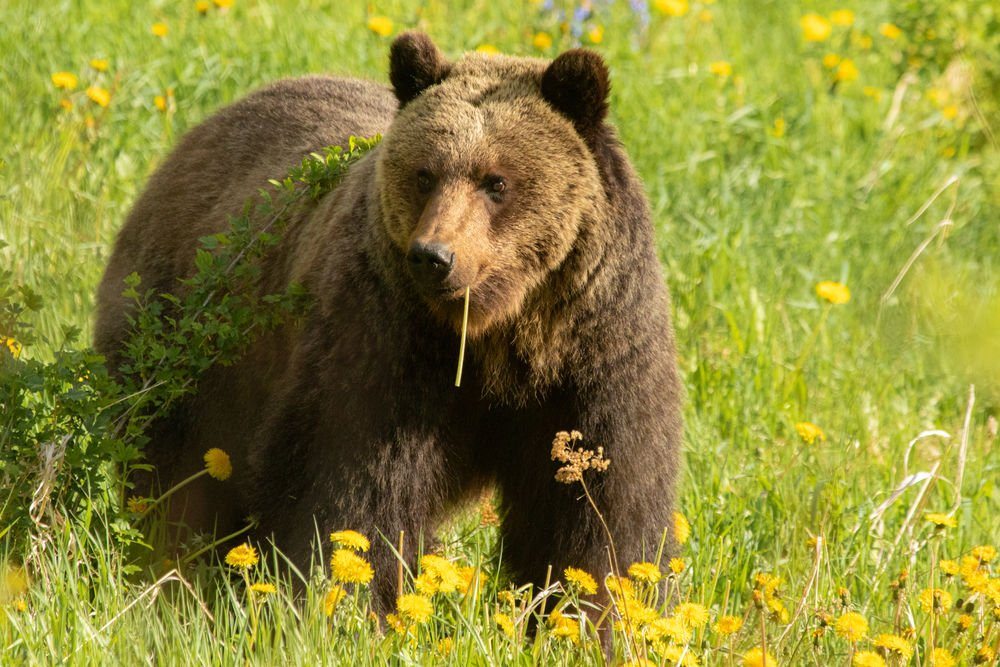 Grizzly Bear in the wild Canadian Rockies at Jasper National Park, Alberta, Canada