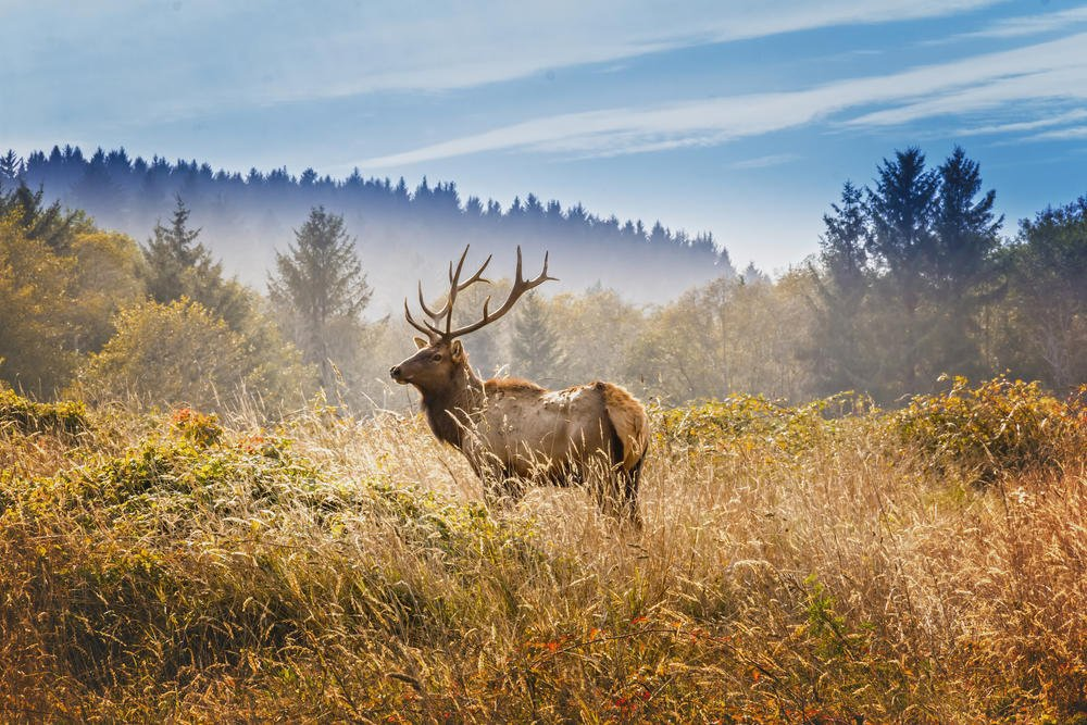 Elk with royal stags in the Yosemite National Park