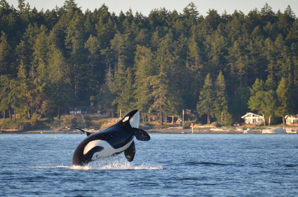 Southern Resident Killer Whale, near Henry Island in Washington State