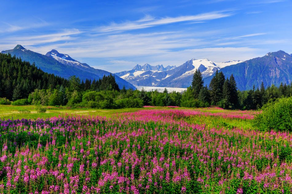 Mendenhall Glacier Viewpoint with Fireweed in bloom in Summer