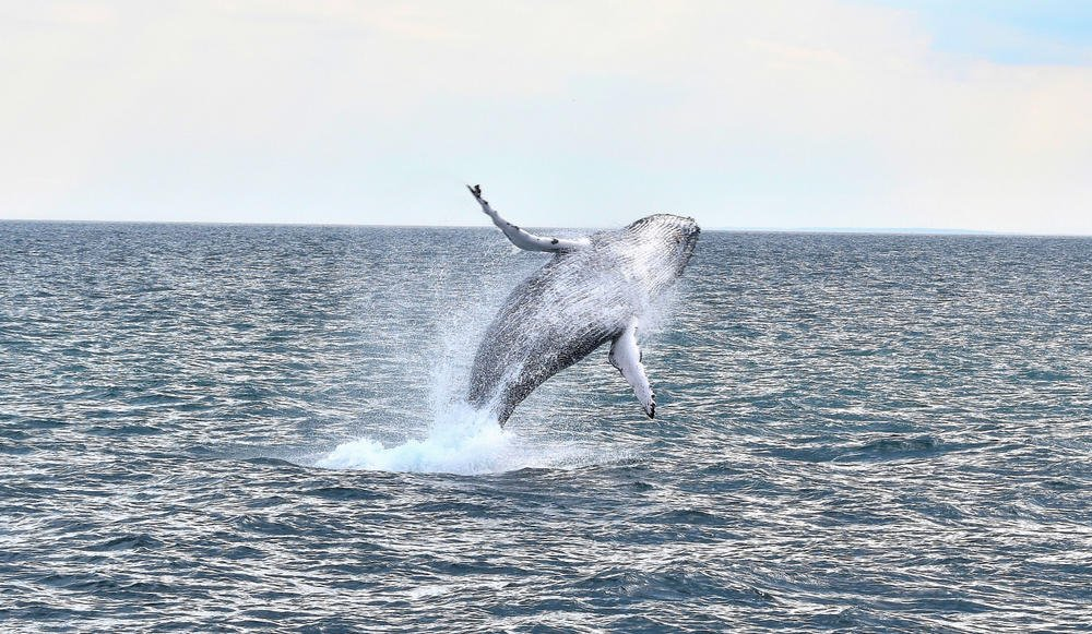 Whale jumping out of the Atlantic Ocean near Boston